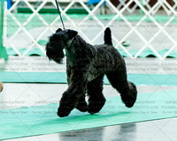 Kerry Blue Terriers