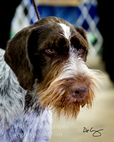 German Wirehairs
