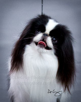 Japanese Chin National Specialty